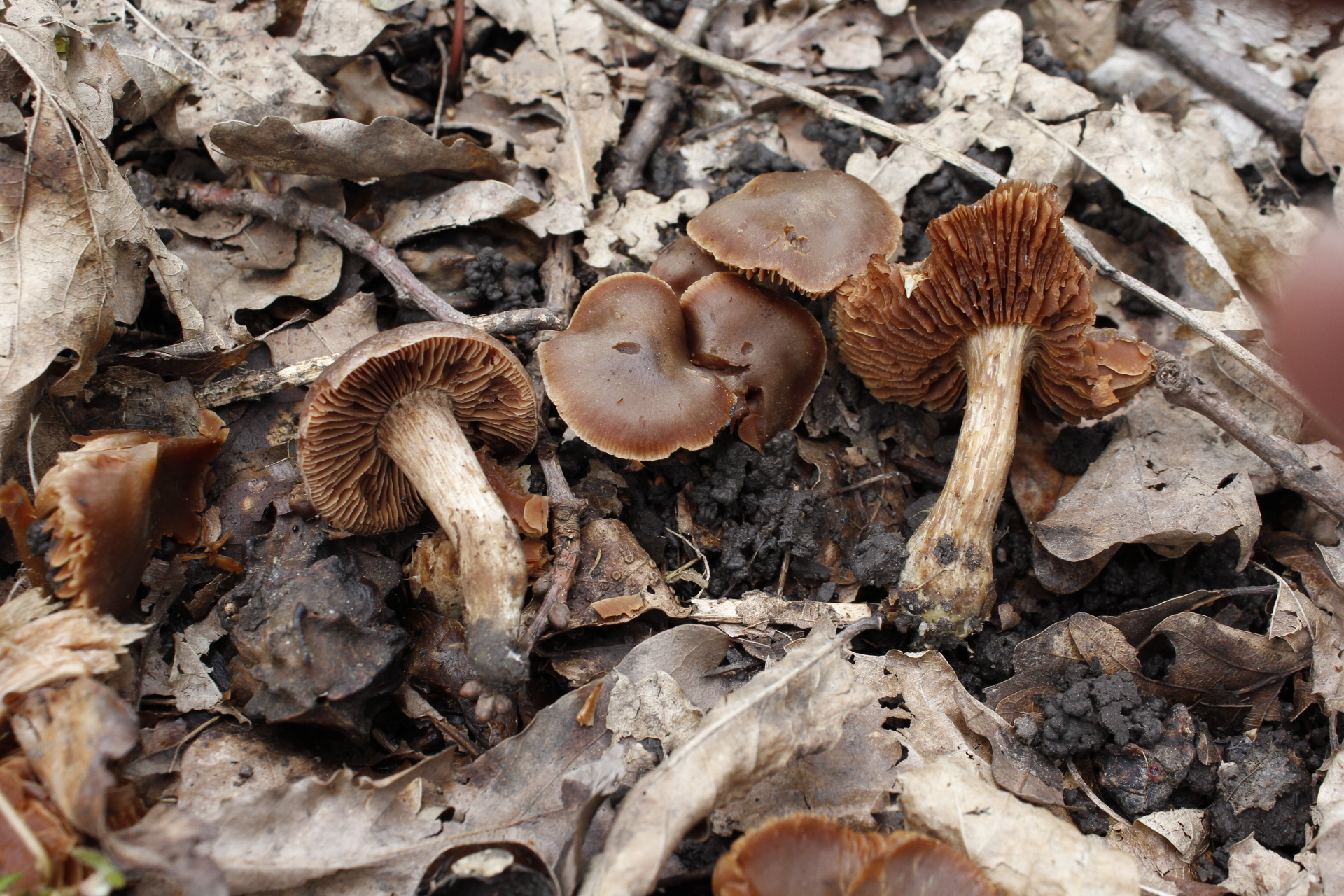Cortinarius irregularis 1