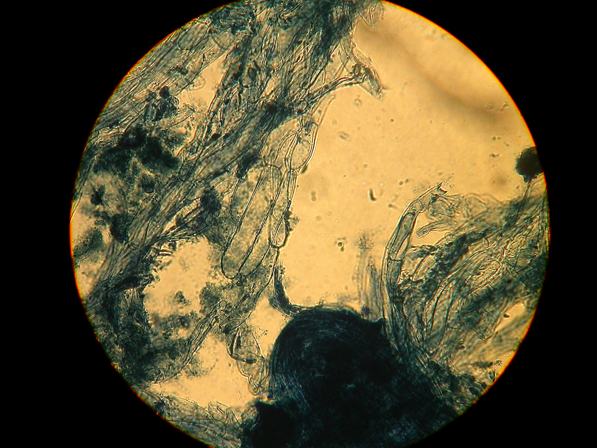 Cortinarius irregularis-PP cells smooth